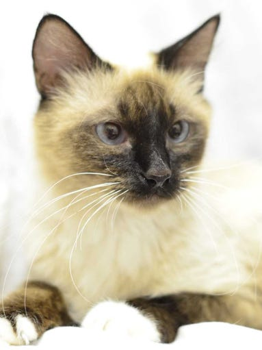 Aquarius - Female Siamese, adult. Intake date: 2/3/2018