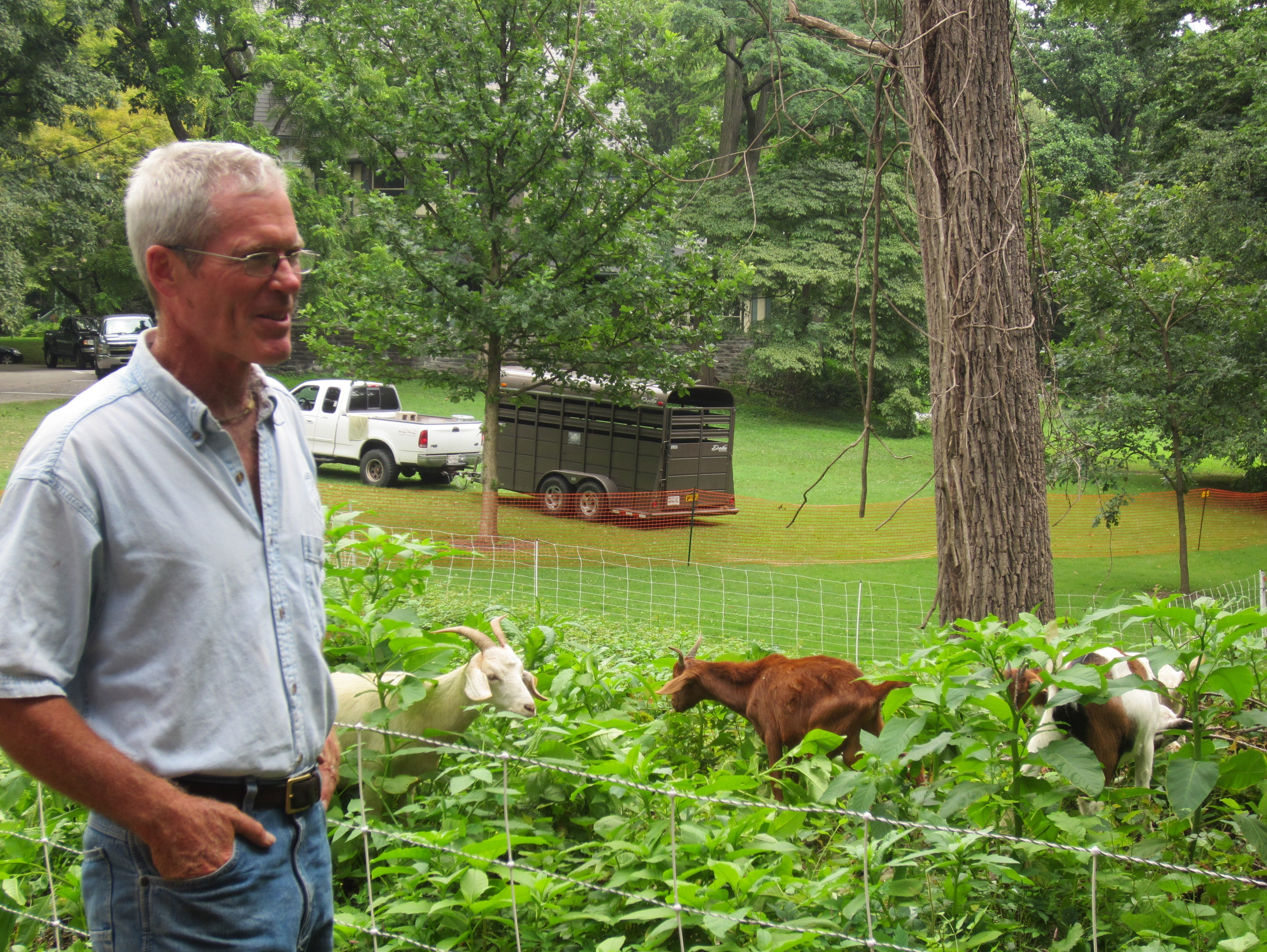 Brian Knox, the supervising forester of Eco-Goats, watches as goats help clear a woody area on Haverford College's campus.