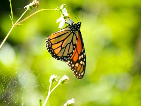 Monarch-Butterflys-1.png
