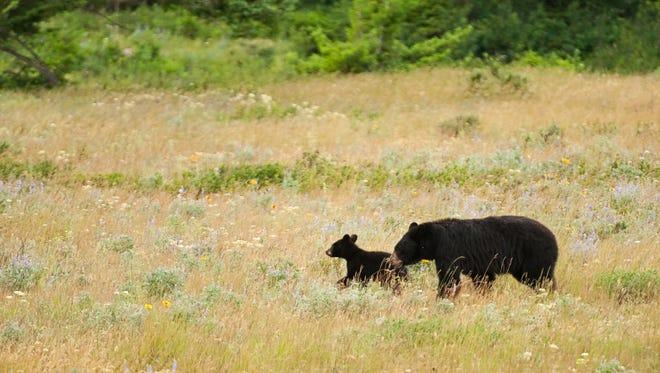 Black bear with cub.