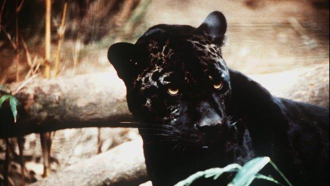 Jaguars may have been kept as pets by the ancient Maya.