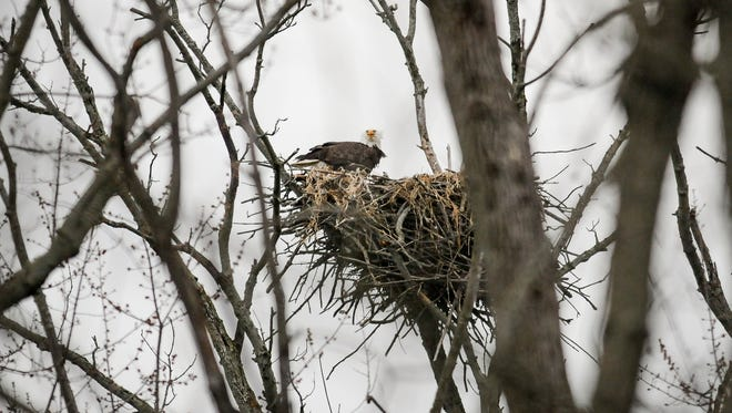 A different view of an Eagle nesting along the Red Cedar River in Lansing.