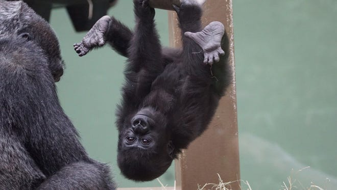 A young chimp hangs out at Zoo Knoxville.