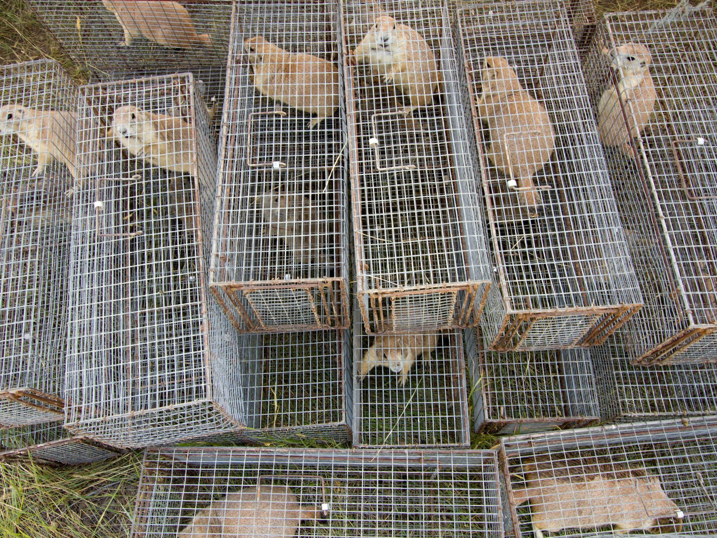 Trapped prairie dogs await processing.