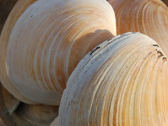 Clam up! Rings in the quahog clam gave scientists an