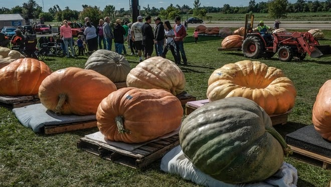 Giant pumpkins are on display after being weighed at the annual Great Lakes Commonwealth Giant Pumpkin Weigh Off Saturday, September 24, 2016 at Andy T's in St. Johns.