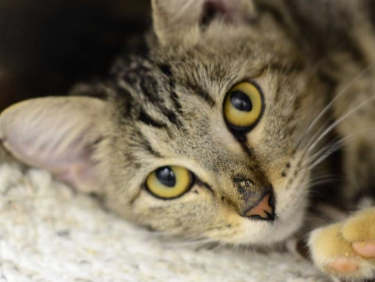 Sicily - Female domestic short hair, adult. Intake