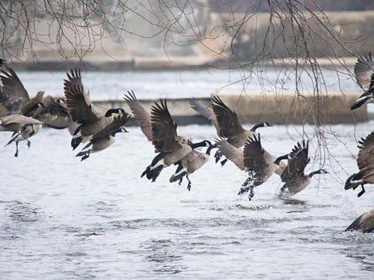 Waterfowl migratory game bird seasons finalized for Wisconsin exterior goose season