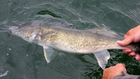 A nice walleye being released.