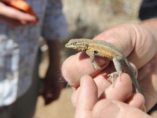 A side-blotched lizard is held after turning up in a pitfall trap during a wildlife survey at Joshua Tree National Park on April 13. Scientists say many types of lizards will likely be vulnerable to effects of climate change.