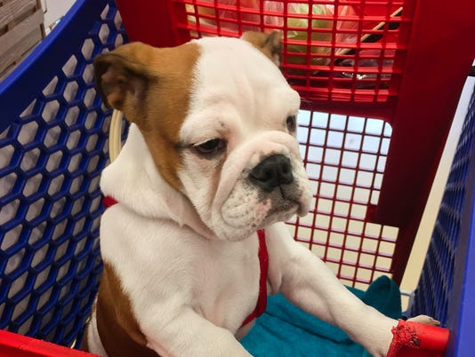 Cute dog in a supermarket shopping cart