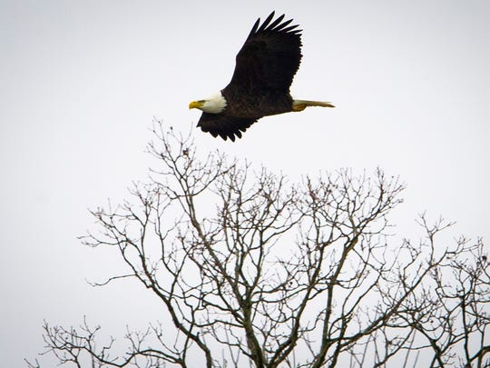 A bald eagle flies above the tree line during an eagle spotting cruise on Kentucky Lake in Hardin, Saturday, Jan. 14, 2017. Eagle spotting tours will continue aboard the 96-foot CQ Princess on Kentucky Lake through mid-February.