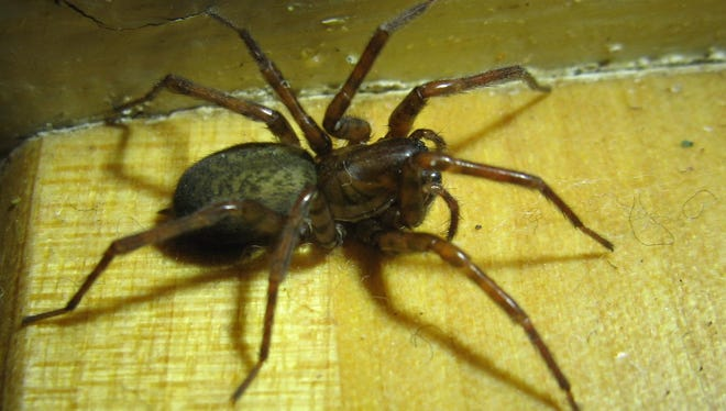 House spiders are a common guest in our basements and barns. Thankfully, they pose no danger to humans and provide us with free, organic, insect control.