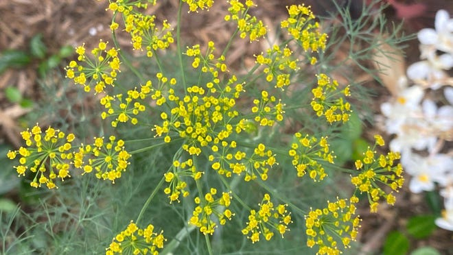 Dill, with its feathery leaves and  bright yellow flowers, will self seed easily, making it easy to grow again and again.
