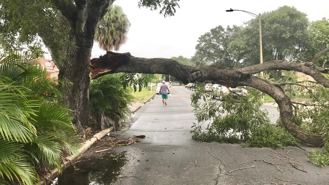 Tropical Storm Isaias claimed this limb on 47th Street in West Palm Beach, about a block from the Intracoastal Waterway.
