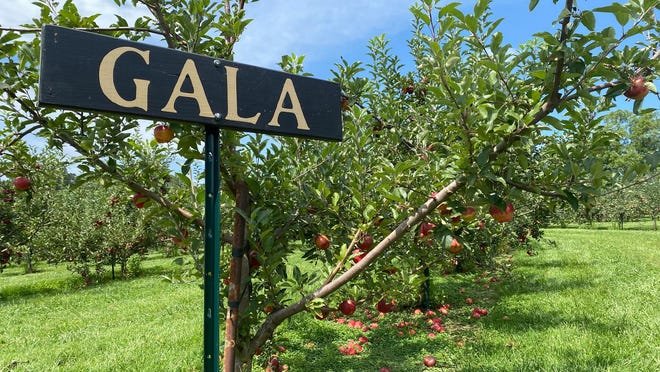 Gala apples are ready for u-pick at