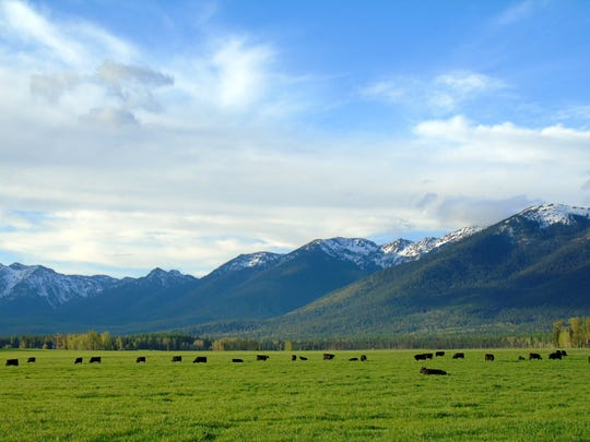 Cattle graze along the Mission Mountains near Bigfork.
