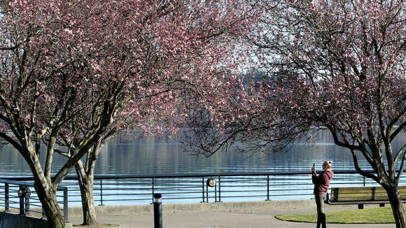 The cherry trees are beginning to show their Spring time blossoms glory at Silverdale Waterfront Park.