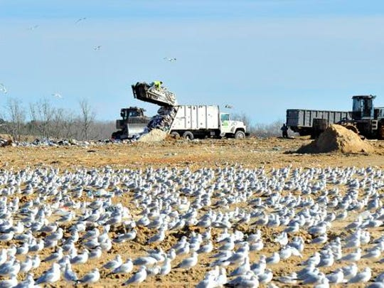 Thousands of seagulls pick for food as trucks dump