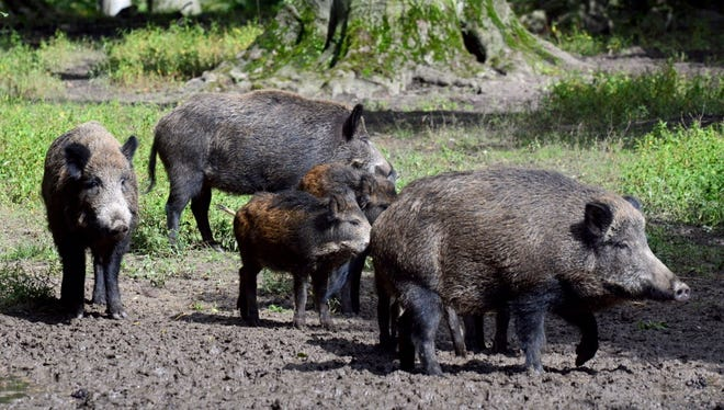 Wild boars at the Wildpark Grafenberger Wald in Duesseldorf, Germany.