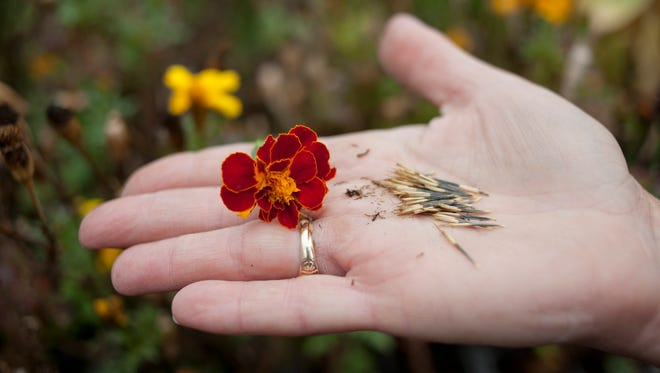 Wendy Greer holds a marigold flower and marigold seeds that she has harvested.