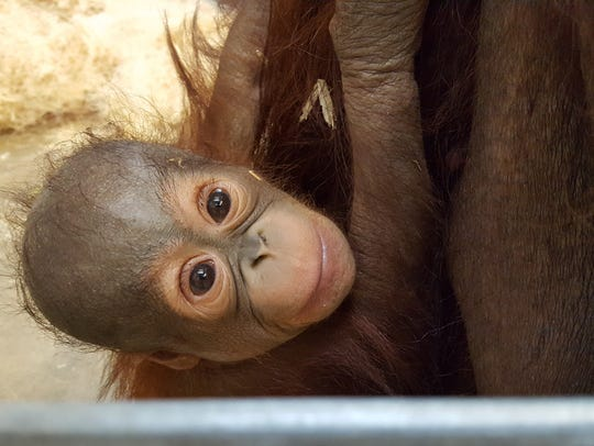 Baby Max peeks out from inside Indianapolis Zoo's former