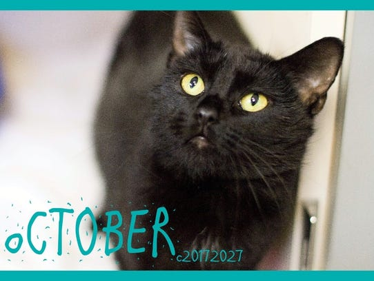 October is an adult male domestic shorthair with mesmerizing