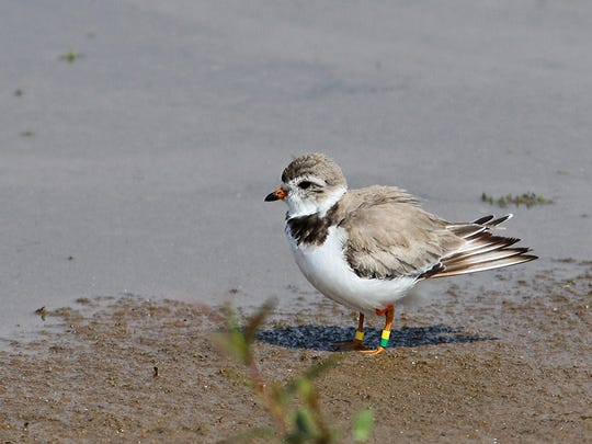 A female piping plover stands in shallow water along the Cat Island Chain in lower Green Bay. Colored leg bands identify the birds by sex and birthplace.