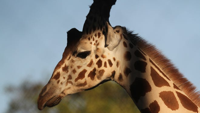 Naples Zoo campers will get to go behind the scenes by the giraffes.