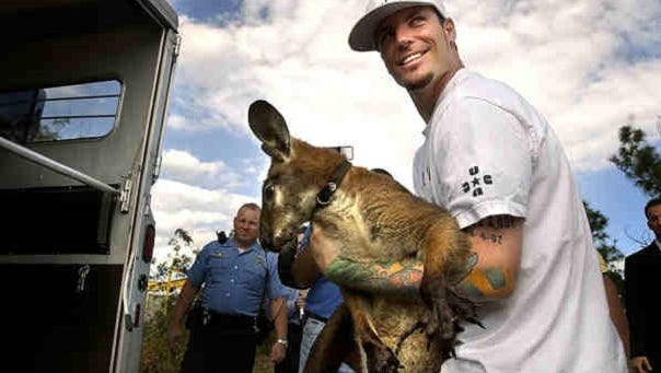 Vanilla Ice in 2004 had a pet wallaroo (a cross between a wallaby and a kangaroo) named Bucky. In 2004, the animal escaped his Florida home along with Pancho the goat. Bucky was captured after scratching a woman's car.