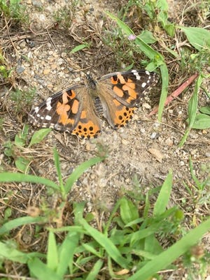 A painted lady butterfly (scientific name: vanessa cardui) is shown.