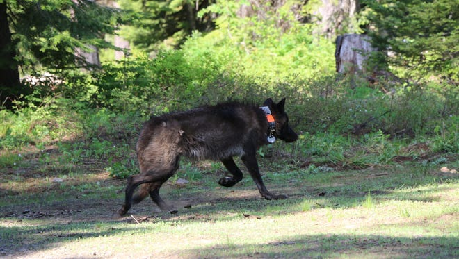 OR28, a 72-pound yearling female wolf from the Mt. Emily pack was captured and GPS collared on June 7, 2014.
