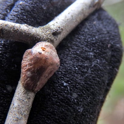 Scale insects create a waxy shell to help protect their
