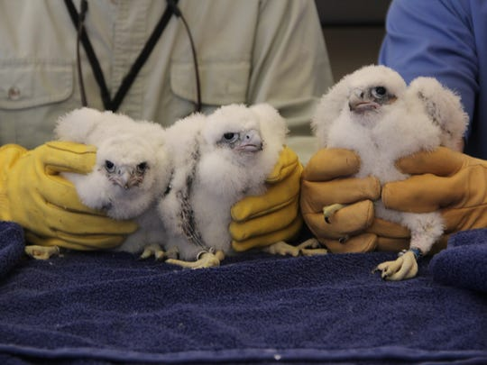 Three peregrine falcon chicks born in a nest box at