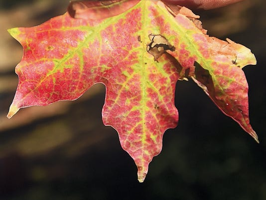 Color starts to come to the leaves at Chambersburg Memorial Park in Chambersburg on Saturday.