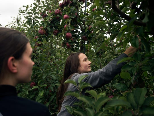 Maggie Krein, 12, of Chester, New Hampshire, right, and her sister Sarah Krein, 16, pick apples Thursday at Apple Hills in Binghamton.