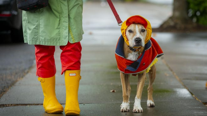 The first rain since June 28 in the area meant that 13-year-old Nana had to break out the protective gear for a walk with her person, Marti Black, along Fifth Avenue in Eugene. [Andy Nelson/The Register-Guard] - registerguard.com