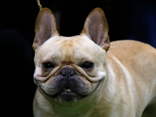 A French Bulldog is seen during breed judging.