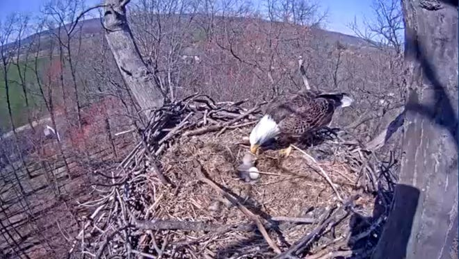 An adult bald eagle feeds its young on March 28, the day the eaglet hatched in Cordorus State Park, York County. The eaglet died March 30 and the egg later failed to hatch.