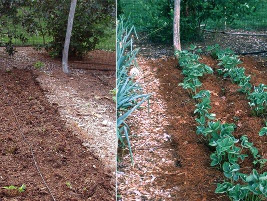 Gardening Strawberry Renovation