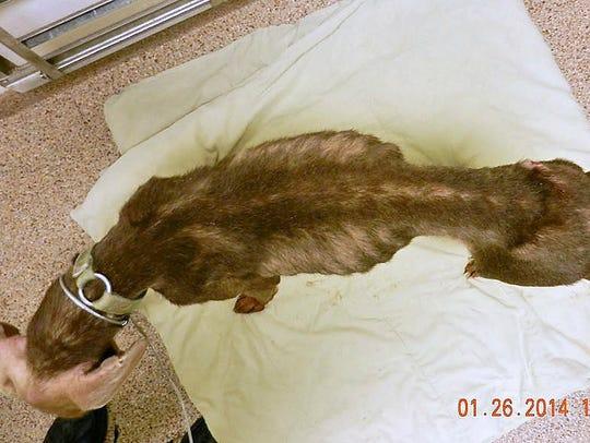 Diesel, a Doberman pinscher, suffered from severe malnourishment