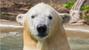 Kali the polar bear arrives at STL Zoo