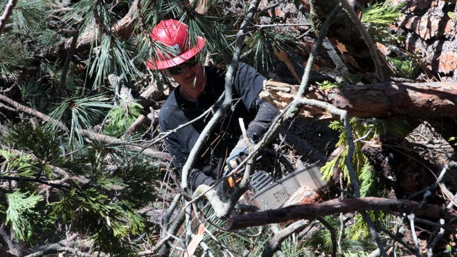 A U.S. Forest Service worker uses a chainsaw to remove branches from a dead tree his crew felled in the Sequoia National Forest. He is part of a crew that has cut down about 1,600 trees out of millions of trees that are dead and dying in California forests due to drought and beetle infestations.