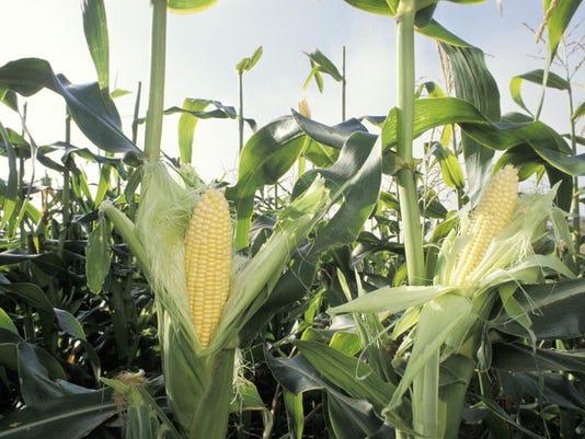 Crop walk, corn