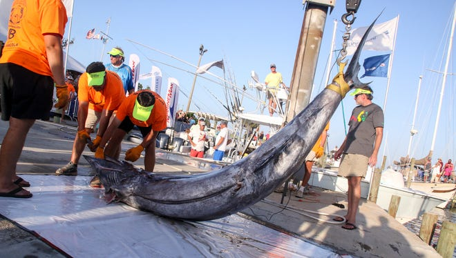 The dock crew hoists a 771.4 pound blue marlin caught by Ben Arnold during the 46th annual Pensacola International Billfish Tournament on Saturday, July 1, 2017.