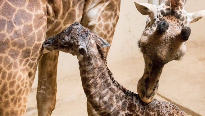 A giraffe born at the Santa Barbara Zoo Wednesday is groomed by her mother. The newborn stands over 6 feet tall.