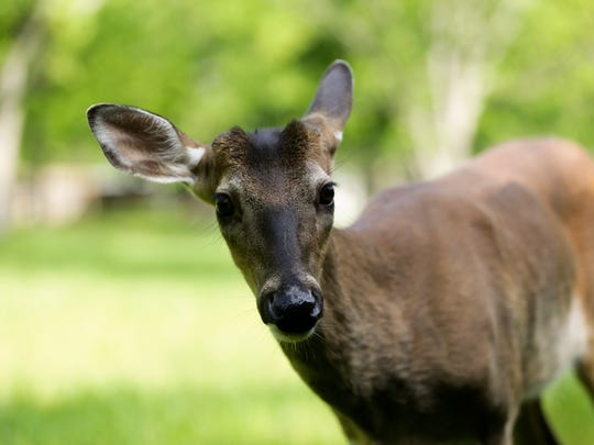 A breeding deer at the Knobbhill Hunting Lodge in Ville Platte.