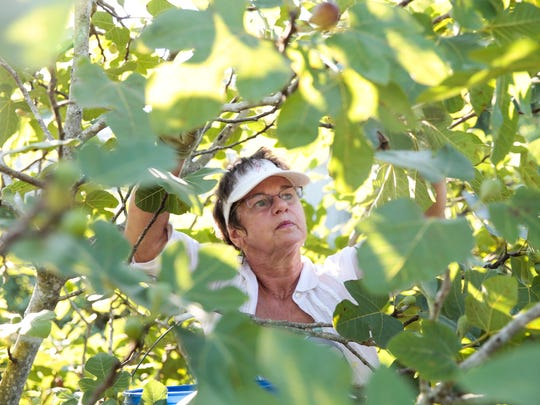 Abigail Ransonet picks figs for St. Julien's Goods,