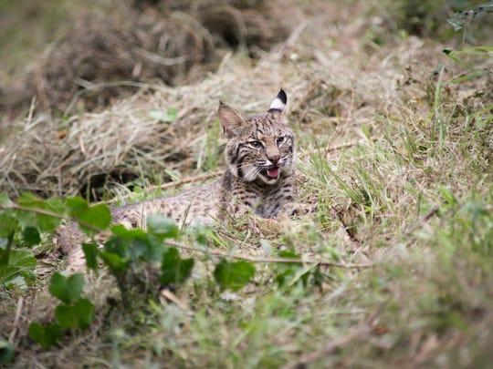 A male bobcat rescued b the Louisiana Bobcat Refuge