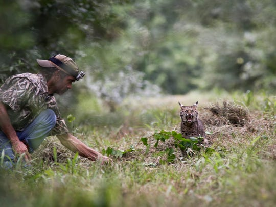Ben Bischoff watches as a rescued bobcat  is released